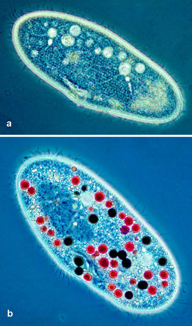 paramecium cell - photo #13