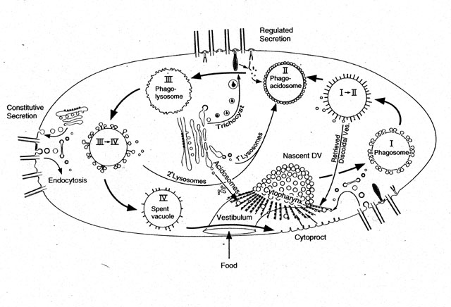 A summary drawing of the  Vacuoles Drawing